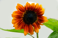 Sunflower 2808