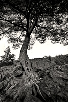 White Pine on Angle Rock
