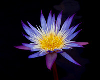 Purple & Gold Water Lily