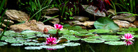 Waterlilies - Japanese Friendship Garden - Georgetown, KY