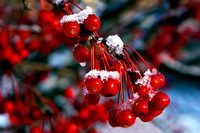 Winter Berries at the Kentucky State Capitol