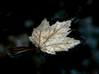 Floating Silver Maple Leaf