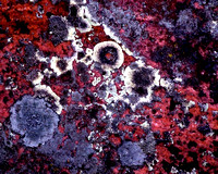 Lichen Encrusted Red Rock